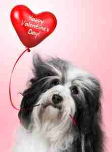 Dog holding Valentine balloon.