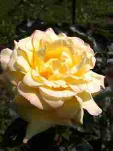 September 2017 Yellow Rose photo