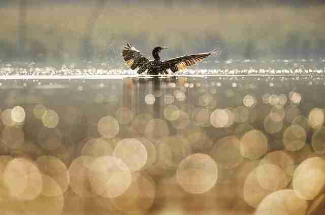 Feeding Wild Ducks
