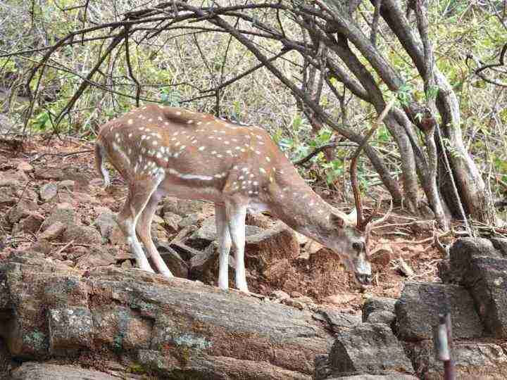 Kingley Vale Deer
